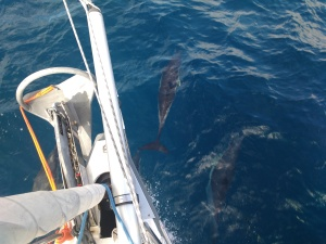 Dolphins guiding Soledad SV