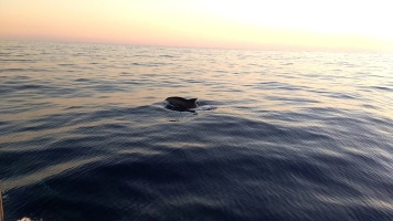 Dolphin guiding us when leaving Portimao